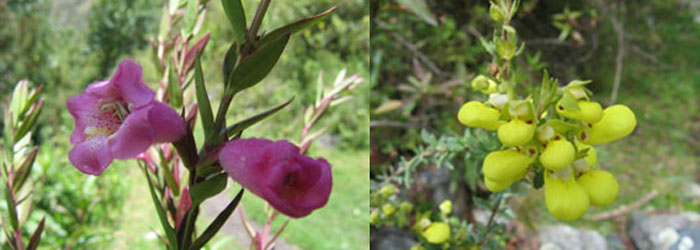 cordillera-blanca-treks-flowers
