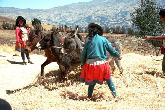 cordillera-blanca-day-hike-Cordillera-negra-Making-hay