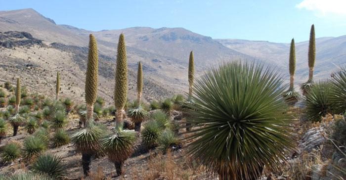 peru-day-hikes-Puyas-raymondi